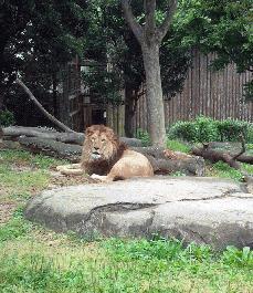いとうづのライオン.jpg